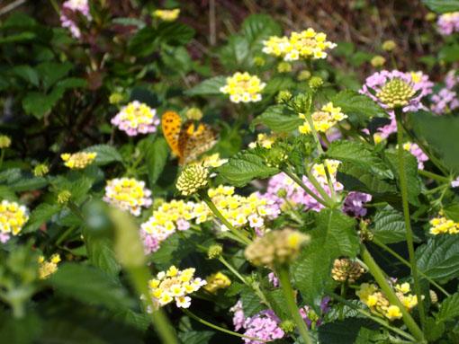 花と蝶.JPG
